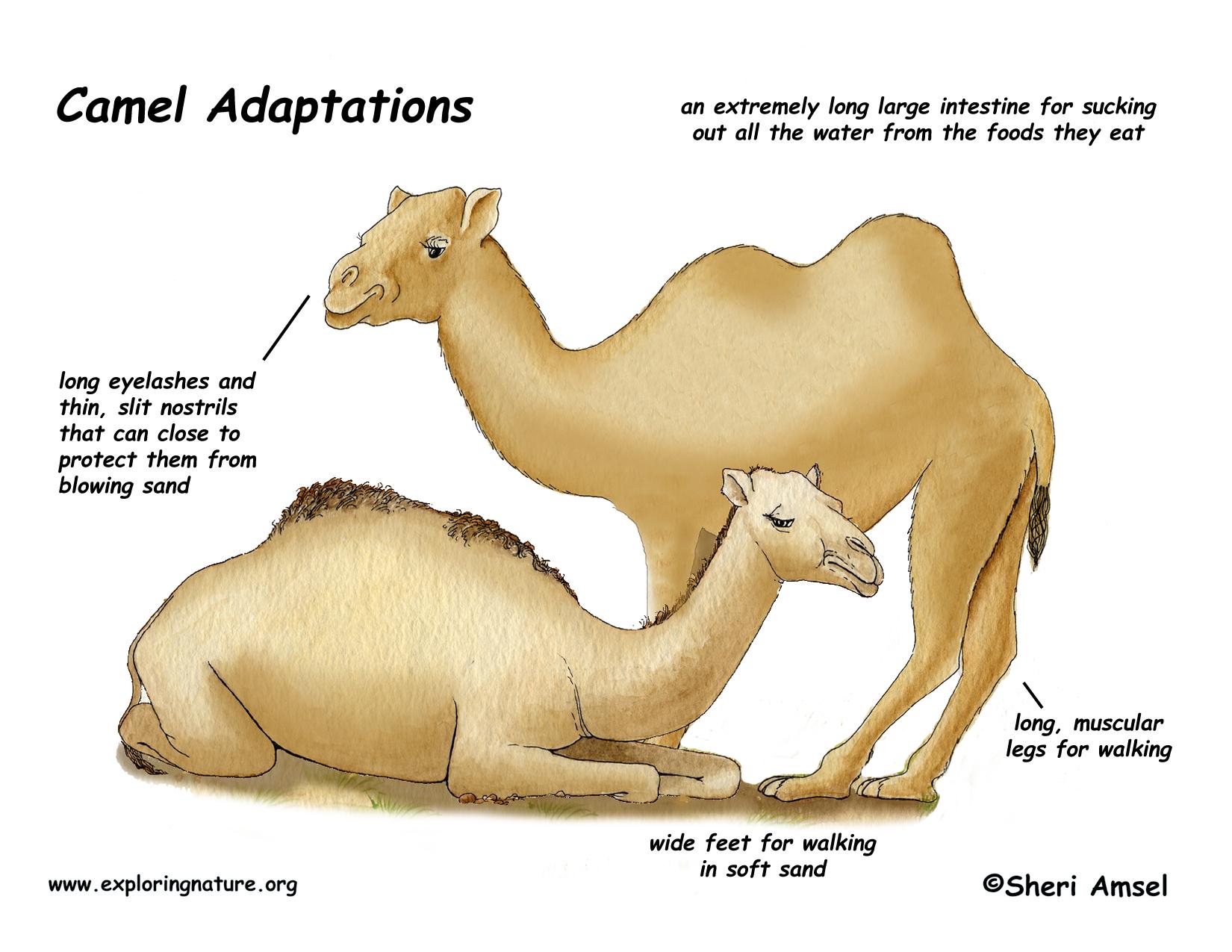 adapation_camel